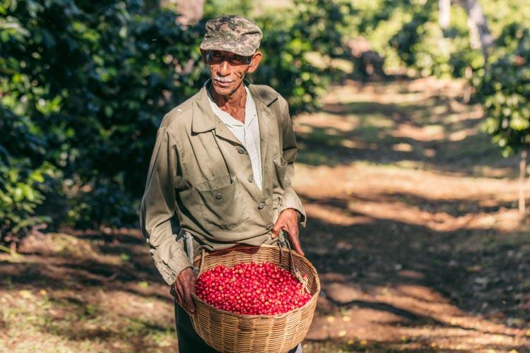 Coffee picker with ripe cherries