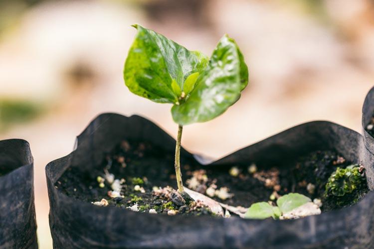 Coffee seedling