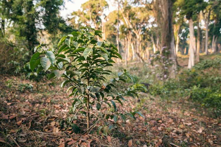 Young coffee tree