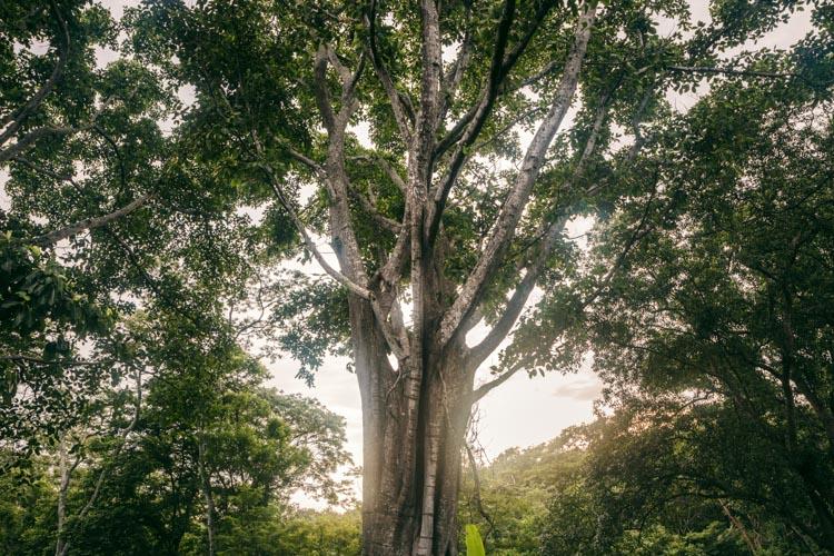 Old shade tree, Nicaragua