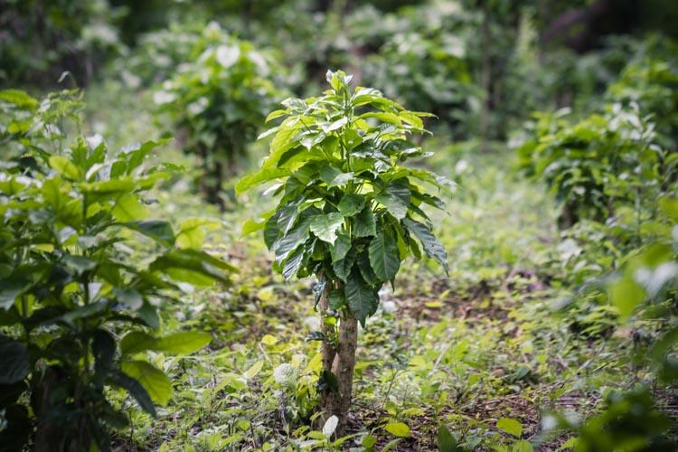 Bird Friendly coffee farm, Central America