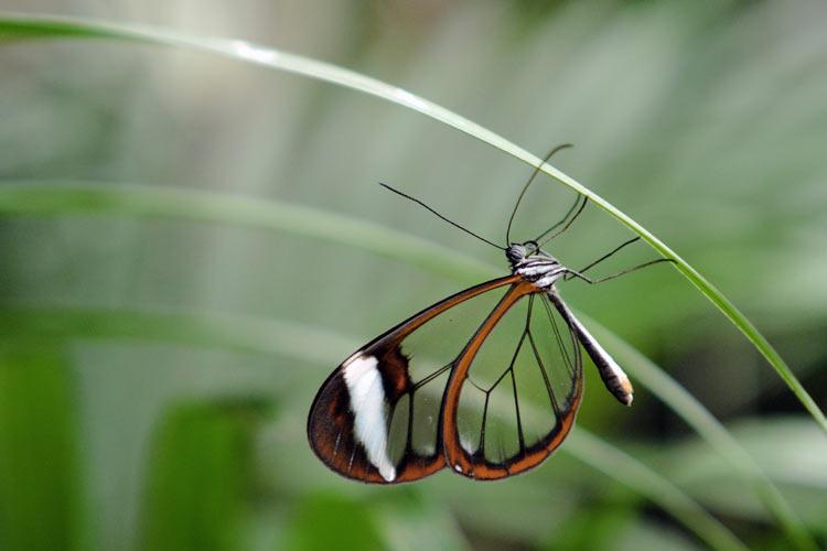 Greta oto (glasswing butterfly)