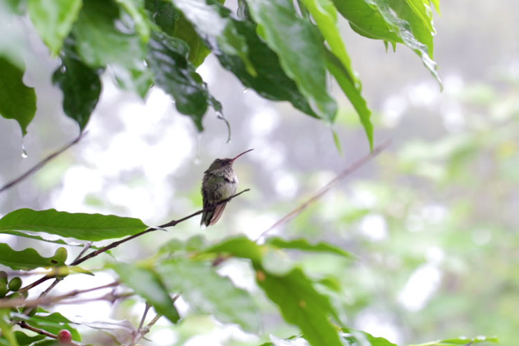 Bird, Blue Mountains, Jamaica